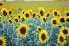 Поле цветка Солнця Стоковое фото RF