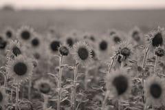 Поле цветка Солнця Стоковые Фотографии RF