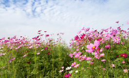 Поле цветка с голубым небом, весенний сезон космоса цветет стоковое фото