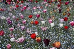 Поле цветка с тюльпанами и цветками незабудки стоковая фотография