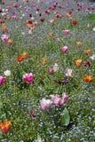Поле цветка с тюльпанами и цветками незабудки стоковое изображение rf