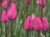 Поле цветка тюльпана знамя предпосылки цветет формы меньшяя розовая спираль Стоковое фото RF