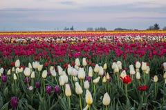 Поле цветка тюльпана Стоковая Фотография