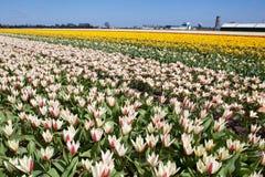Поле цветка тюльпанов Стоковое фото RF