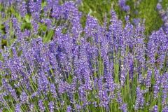 Поле цветка Lavander Стоковые Фото