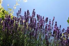 Поле цветка Lavander Стоковые Изображения