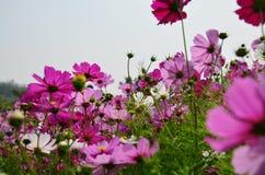Поле цветков космоса на сельской местности Nakornratchasrima Таиланде Стоковое фото RF