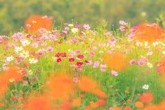 Поле цветков космоса сбор винограда типа лилии иллюстрации красный Стоковое фото RF