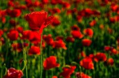 Поле цветков мака на заходе солнца Стоковые Фото