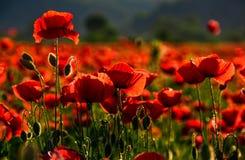 Поле цветков мака на заходе солнца Стоковая Фотография