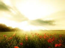 Поле цветков маков Стоковое фото RF