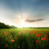 Поле цветков маков Стоковое Изображение RF