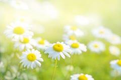Поле цветков маргаритки весны Естественная солнечная предпосылка Стоковая Фотография RF