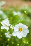 Поле цветков маргаритки Стоковые Изображения RF