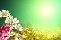 Поле цветков маргаритки стоковые фотографии rf