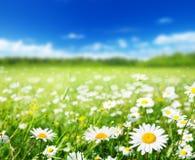 Поле цветков маргаритки стоковые изображения