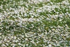 Поле цветков маргаритки стоковая фотография rf