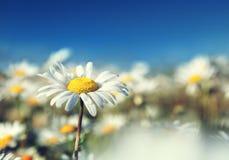 Поле цветков маргаритки стоковое фото rf