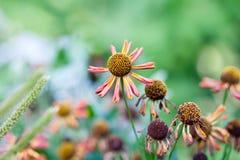 Поле цветков маргариток осени Стоковая Фотография