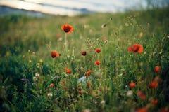 Поле цветков морем на горе, маках Стоковая Фотография RF
