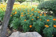Поле цветков ноготк Стоковая Фотография RF