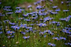 Поле цветков 4 сини Стоковое Изображение RF