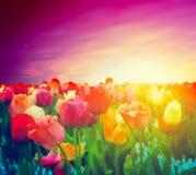 Поле цветков тюльпана, небо захода солнца. Художническое настроение стоковая фотография rf