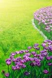 Поле цветков тюльпанов зацветая, лужайка зеленой травы в красивом spr Стоковое фото RF