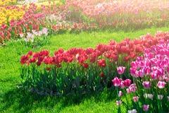 Поле цветков тюльпанов зацветая, лужайка зеленой травы в красивом spr Стоковые Фотографии RF