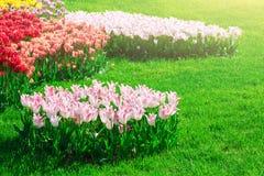 Поле цветков тюльпанов зацветая, лужайка зеленой травы в красивом spr Стоковые Фото