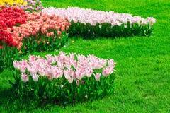 Поле цветков тюльпанов зацветая, лужайка зеленой травы в красивом spr Стоковая Фотография RF