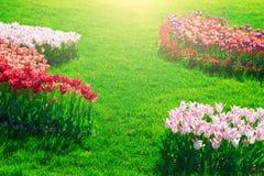 Поле цветков тюльпанов зацветая, лужайка зеленой травы в красивом spr Стоковое Изображение RF
