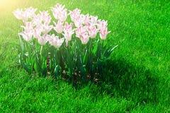 Поле цветков тюльпанов зацветая, лужайка зеленой травы в красивом spr Стоковые Изображения