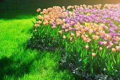 Поле цветков тюльпанов зацветая, лужайка зеленой травы в красивом spr Стоковое Фото