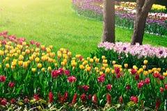 Поле цветков тюльпанов зацветая, лужайка зеленой травы в красивом spr Стоковые Изображения RF