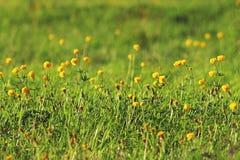 Поле цветков лютика желтое Стоковые Изображения