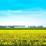 Поле цветков blosssom тюльпана желтое весной. Голландия или Нидерланды. стоковое изображение rf