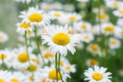 Поле цветков camomiles Стоковое Фото