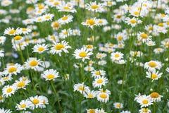 Поле цветков camomiles Стоковое Изображение