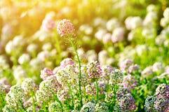 Поле цветков maritima Lobularia осветило солнечным светом Стоковые Изображения RF