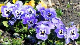 Поле цветков Pansy Стоковое Фото