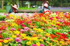 Поле цветков Zinnia Стоковые Изображения RF