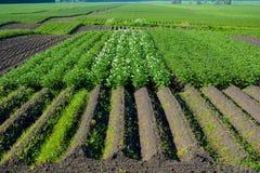 Поле цветя картошки Стоковые Изображения RF