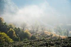 Поле чая и туман утра, на Doi Angkhang в Chiangmai, Tha Стоковые Изображения