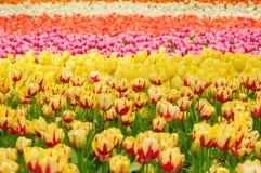 Поле Шанхай Китай тюльпана Стоковые Фотографии RF