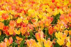 Поле Шанхай Китай тюльпана Стоковое Фото