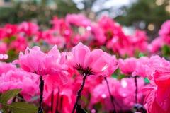 Поддельные розовые цветки украшенные в фестивале Нового Года Стоковые Изображения RF