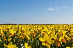 Поле ярких желтых daffodils Стоковые Фотографии RF