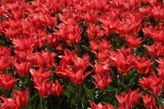 Поле ярких красных тюльпанов в Нидерландах Стоковые Изображения RF