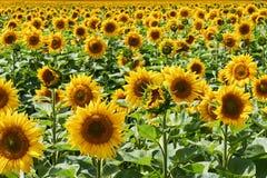 Поле ярких солнцецветов выходя в расстояние против предпосылки голубые облака field wispy неба природы зеленого цвета травы белое Стоковое Изображение